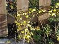 Jasminum nudicaulis1.jpg
