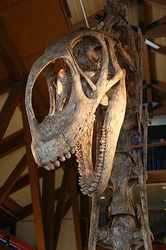 Eusauropoda - Skull of Jobaria