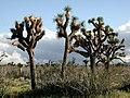 Joshua tree Mojave desert.jpg