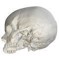 Jugular notch of occipital bone11.png