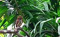 Jungle Owlet ചെമ്പൻ നത്ത്.JPG