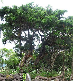 Kurzblättriger Wacholder auf der Azoreninsel Flores