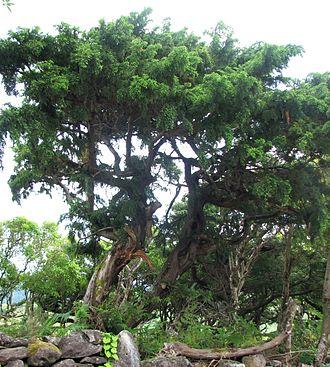 Juniperus brevifolia - Specimen on Flores, Azores