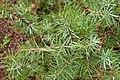 Juniperus oxycedrus kz12 (Morocco).jpg