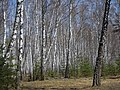 Just a forest - panoramio.jpg