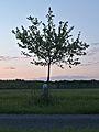 Kühkopf-Knoblochsaue Landsberger Renette Apple Tree.jpg
