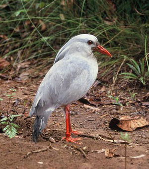 Oceanian realm - Kagu (Rhynochetos jubatus) - a flightless bird from New Caledonia.