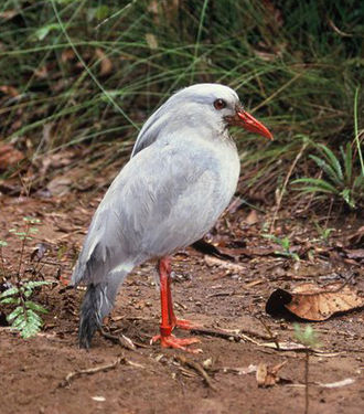 Kagu - The current population of wild kagus is about 250–1000 birds, and the species is the focus of a decades long conservation effort