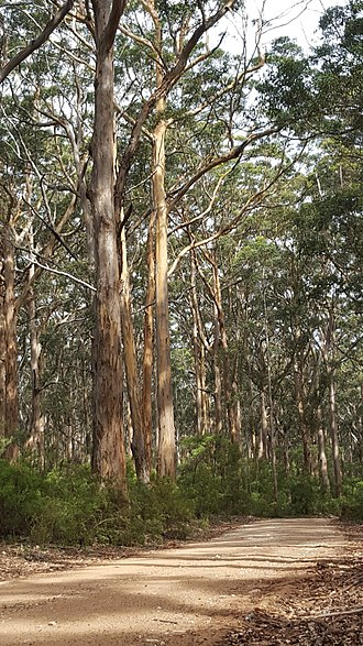 Eucalyptus diversicolor - Karri trees in the Boranup Forest