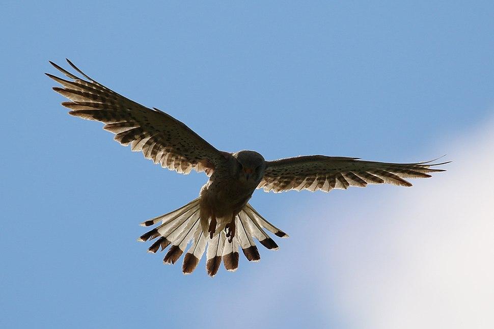Kestrel (Falco tinnunculus) male in flight