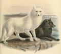 Keuleman's Arctic fox.png