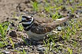Killdeer Protecting Her Nest (27946794917).jpg