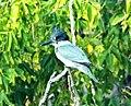 Kingfisher dining (29068927272).jpg