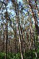Kirovohrad Pine Massive 01 Lisoparkova street (YDS 4806).jpg