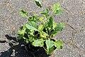 Kluse - Brassica oleracea var. ramosa - Ewiger Kohl 02 ies.jpg
