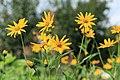 Kluse - Helianthus tuberosus - Topinambur 08 ies.jpg