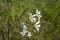 Knöllchen-Steinbrech Saxifraga granulata nordöstlich vom Kleidersee (1).jpg