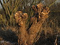 Knotted willow stump.jpg