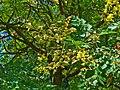 Koelreuteria paniculata 004.JPG