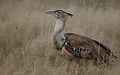 Kori bustard, Ardeotis kori, at Kgalagadi Transfrontier Park, Northern Cape, South Africa (34494052386).jpg