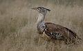Kori bustard, Ardeotis kori, at Kgalagadi Transfrontier Park, Northern Cape, South Africa (34494052386).jpg