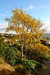 Kowhai in full bloom at Papakowhai School