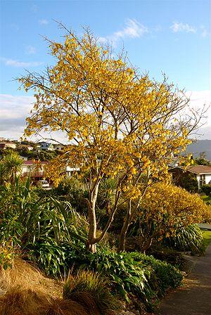 Papakowhai - Kowhai tree in bloom at Papakowhai School
