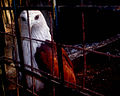Krishnaparunth in cage.jpg