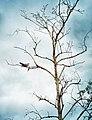 Kuckuck in einem kahlen Baum.jpg