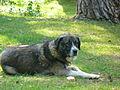 Kunduz köpeği 5.JPG