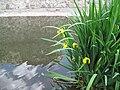 Květiny u Betonového mostu v Libni.jpg