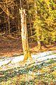 Kvetoucí sněženky v PP Sněženky ve Vysokém lese 52.jpg