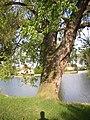 Kysice KL CZ Javory v Kysicich Acer saccharinum 075.jpg