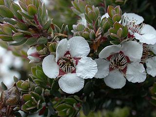 <i>Leptospermum lanigerum</i> Species of shrub