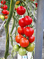 La palma-rancho tomate cherry.JPG