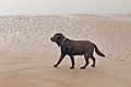 Labrador Retriever Chocolate Brown Beach - Sam.jpg