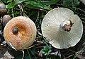 Lactarius proximellus Beardslee & Burl 676657.jpg