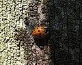 Ladybird (19889292911).jpg