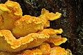 Laetiporus sulphureus, 2012-09-02-0433.jpg