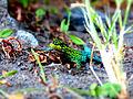 Lagartija Verde (Liolaemus tenuis).JPG