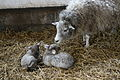 Lambs and mum.jpg
