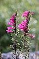 Lamourouxia virgata (Orobanchaceae) (44229321660).jpg