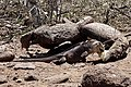 Land Iguana (33916346558).jpg