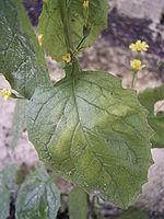 Lapsana communis leaf.jpg