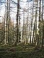 Larch woods, Rossie Ochill - geograph.org.uk - 690591.jpg