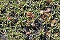 Laretia acaulis (30573861956).jpg