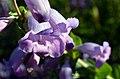 Large-flowered Penstemon (27265265260).jpg