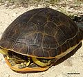 Large Adult Chicken Turtle, Florida.jpg
