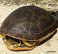 Large Adult Chicken Turtle, Florida.jpg