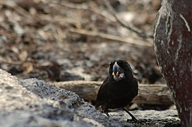 Large ground finch (4229088394).jpg